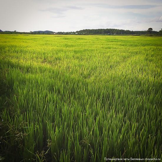 Рисовое поле