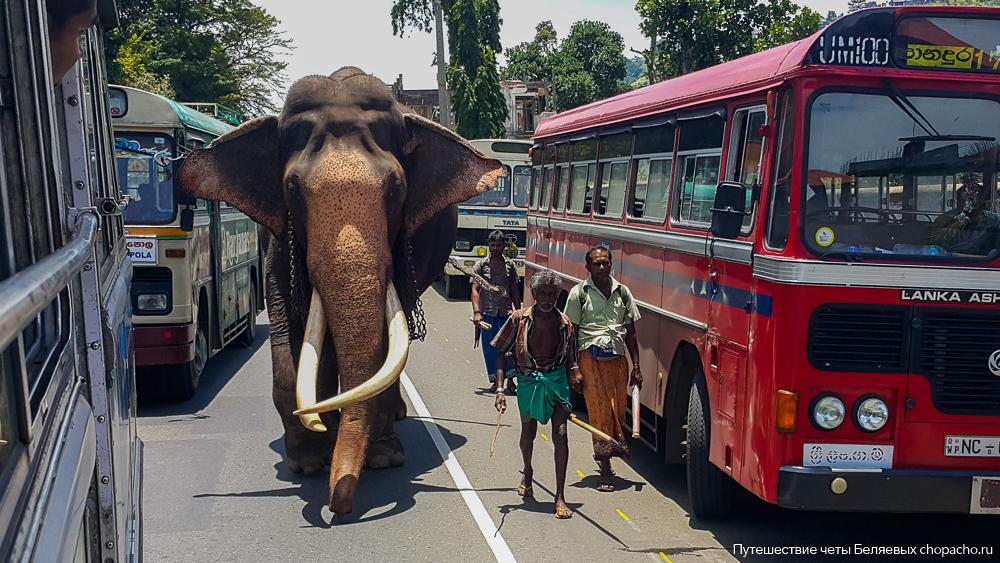 Слон, гуляющий по улицам Шри-Ланки